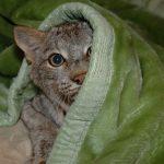 cat in a cloak